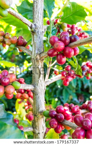 coffee trees in  northern Thailand