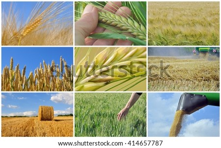 collage of cereal growing and harvest