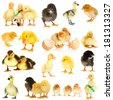 Collage of cute little chickens and ducklings - stock photo