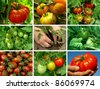 collage of organic tomatoes in the garden - stock photo