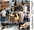 Collage of photographs showing dairy farm management.  Milk Production. Milking Equipment. Farm Workers. Dairy Cows. Milking Facility. - stock photo