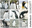 Collage with different penguin species from Antarctica, South Georgia and Falkland Islands - stock photo
