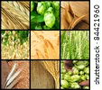 Collage with ears of wheat, humulus and barley - stock photo