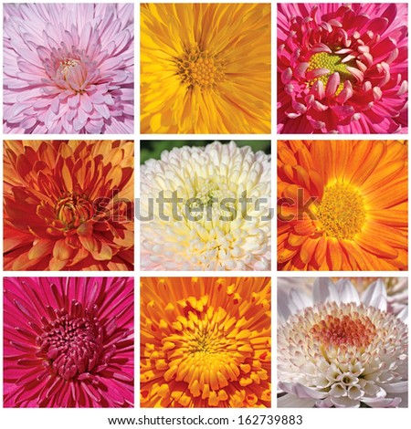 collage with macro photos of chrysanthemums