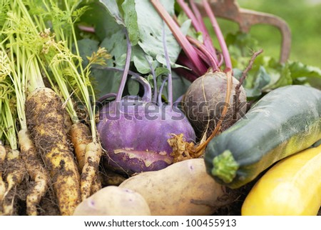 Collection of freshly harvested vegetables from an allotment. Kohl Rabbi, beetroot, yellow carrots, yellow and green courgette,and Kestrel potatoes.
