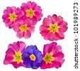 collection set of blooming primrose primula  isolated on white - stock photo