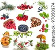 Collection set of wild forest plants with berries , fruits , fungi , nuts  isolated on white background - stock