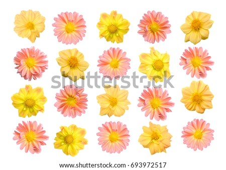 Collectionof Dahlia Flower Isolated On White Background
