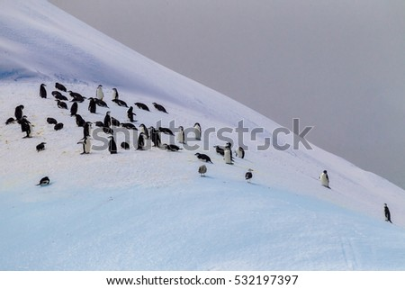 Colony of chin strap penguins on Elephant Island, Antarctica