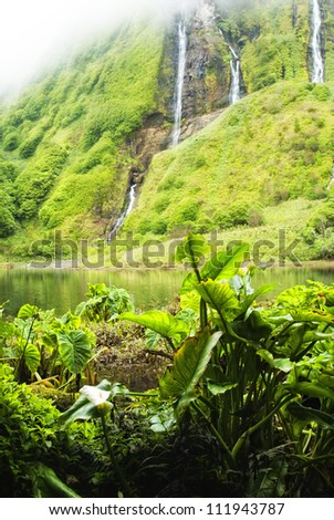 colony of wild  taro plants in front of a small lake and waterfall - vegetation on flores, acores islands
