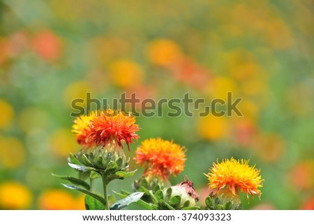 colorful and beautiful safflower's flowers in summer