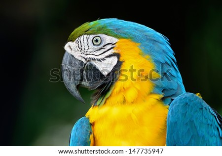 Colorful Blue and Gold Macaw aviary, face and breast profile