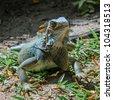 colorful bluish green iguana in Panama - stock photo