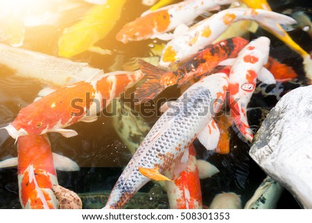 Colorful CARP fish or Koi fish, also known as fancy carp are swimming at pond in the garden with the sun light.