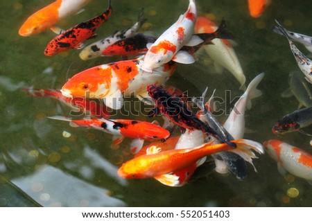 Fancy carp stock photo 491236480 shutterstock for Shallow koi pond
