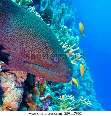 colorful coral reef with dangerous great moray eel at the bottom of tropical sea, underwater