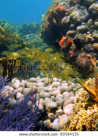 Colorful corals underwater with a shoal of french grunt fish in a reef of the Caribbean sea, Bocas del Toro, Panama