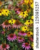 Colorful echinacea garden in summer - stock photo