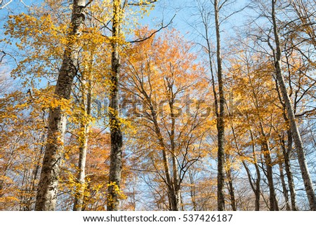 Colorful golden foliage at autumn beech forest on a blue sky background
