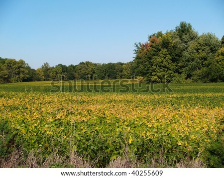 Colorful green and golden ripening soybean field in Indiana.