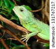 colorful green lizard close-up - stock photo