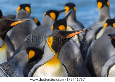 Colorful king penguins closeup