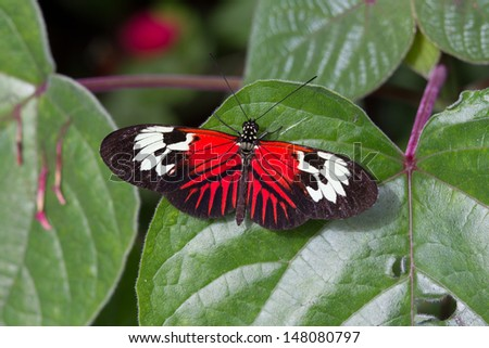 Colorful, red, black and white butterfly rests on leaf