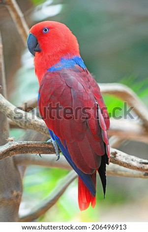 Colorful red parrot, a female Eclectus parrot (Eclectus roratus), back profile