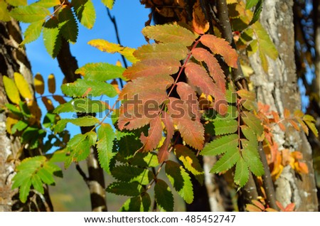 colorful rowan tree leaves in autumn closeup