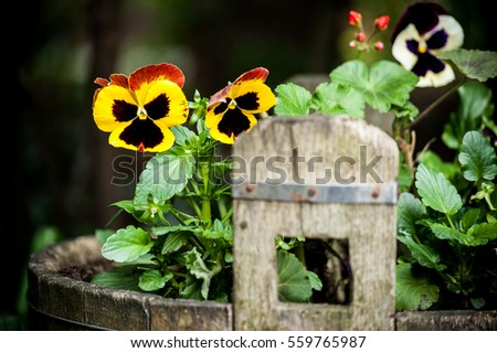 Colorful spring pansyflower in wooden holder on green blurred background