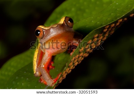 colorful tree frog Hypsiboas triangularum in the Bolivian rain forest