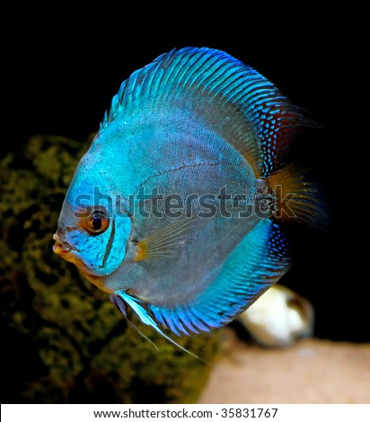 Colorful Tropical Fish Of The Symphysodon Discus Spieces