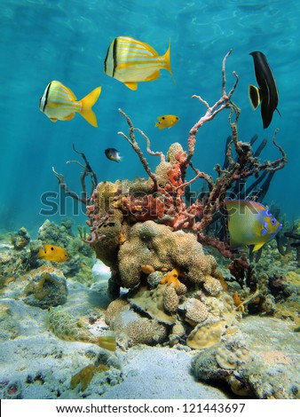 Colorful tropical fish with lumpy overgrowing sponge and white encrusting zoanthid in a coral reef of the Caribbean sea, Mexico