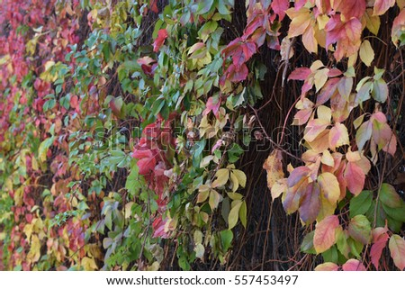 Colorful vine leaves abstract background. Autumn nature.