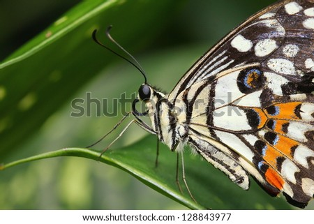 Colorful white swallowtail butterfly. Papilio demoleus