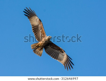 Common birds of India: juvenile Brahminy Kite