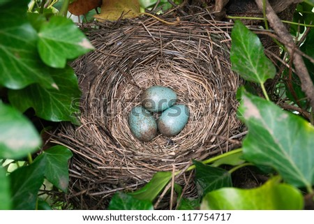 Common Blackbird's nest with eggs.