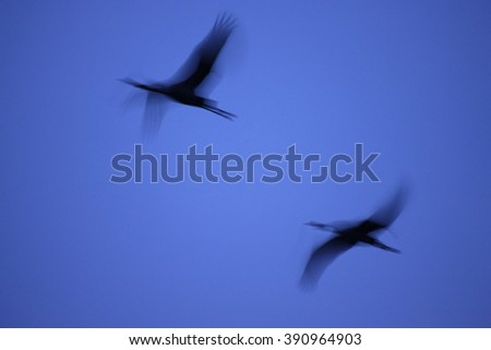Common Crane (Grus grus) flying at the sky in the blue hour with motion blur