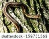 Common Garter Snake climbing a tree. - stock photo