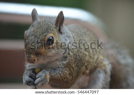 Common Grey Squirrel eating nuts on a table