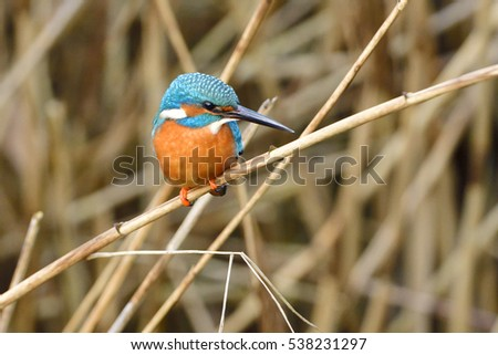 Common kingfisher looking for food