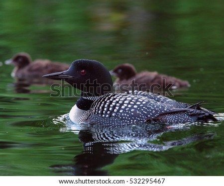 Common Loon in breeding plumage with two baby loon chicks in the background on a north woods lake in Wisconsin.