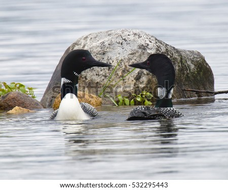 Common Loon pair in breeding plumage on a north woods lake in Wisconsin.