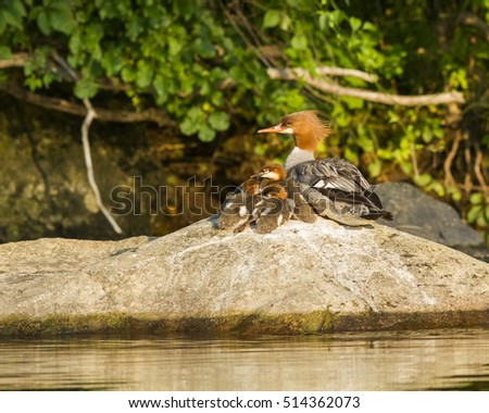 Common Merganser and ducklings resting on a rock on the Farmington river in CT.