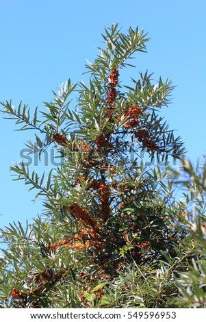 common sea-buckthorn  (Hippophae rhamnoides), is a plant species from the genus of the Sanddorne (Hippophae)