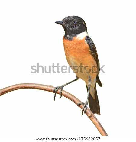 Common stonechat bird (Saxicola torquatus) perching on a branch, white background