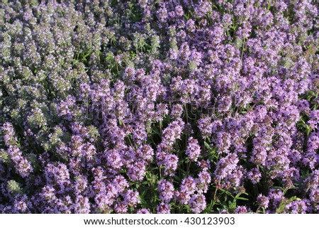 Common Garden Flowers Pink common thyme flowers pink garden thyme stock photo 430123927