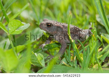 Common toad (Bufo bufo) newly metamorphosed juvenile