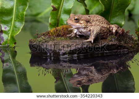 Common Toad on moss covered stone/Toad/Common Toad (Bufo Bufo)