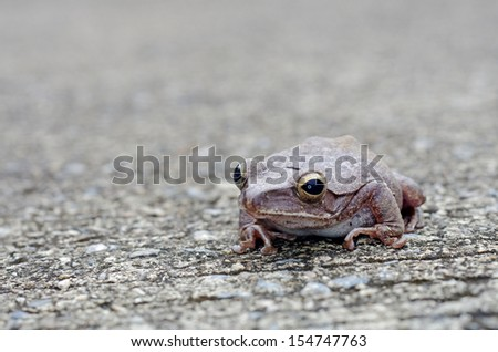 common tree frog is staying on the cement road; front view